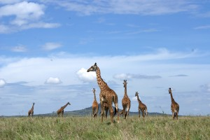 Serengeti giraffes on a Tanzania safari