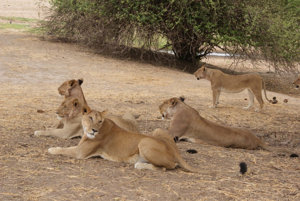 Lions relaxing in Ruaha National Par